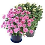 Crisantemi vaso diametro 20cm colori assortiti    monocolore
