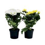 Crisantemo margherita vaso diametro 12cm, colori assortiti